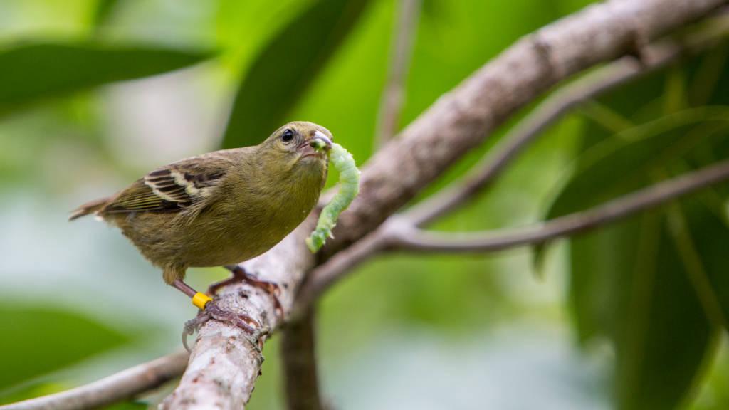 Green feathered Female Mauritius Fody bird