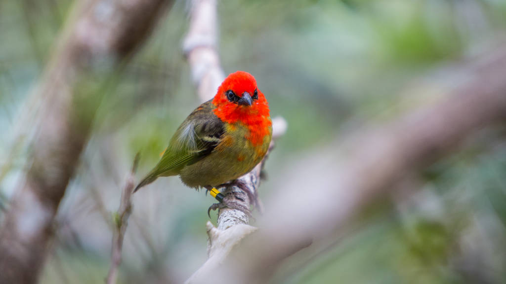 red and green feathered male Mauritius Fody bird on Ile aux Aigrettes